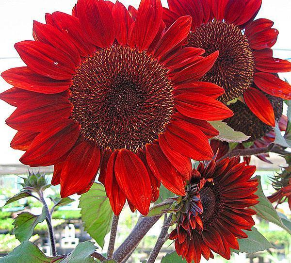 красный цветок гелиантуса