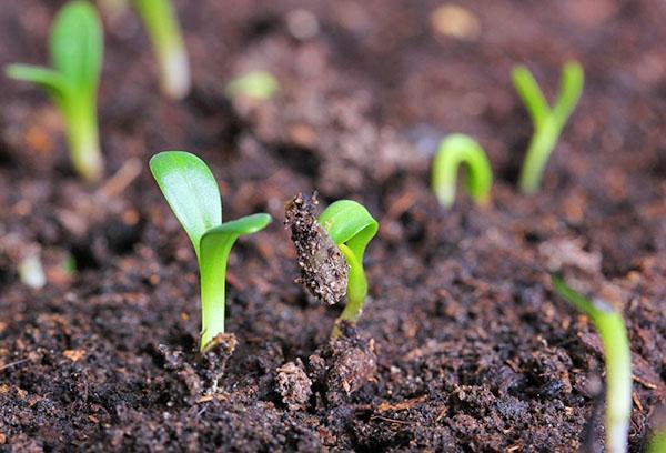 всходы семян гелиотропа