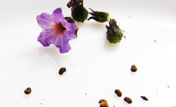 семена гелиотропа