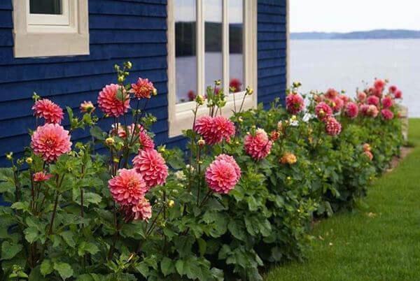 растут георгины вдоль дома
