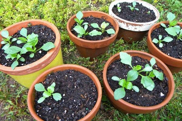 выращивание рассады георгин однолетних
