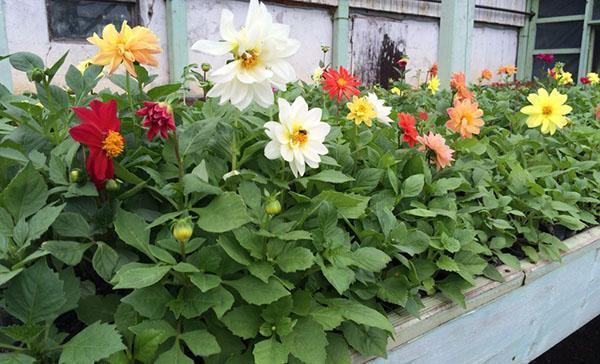 Георгины комнатные выращивание и уход 5