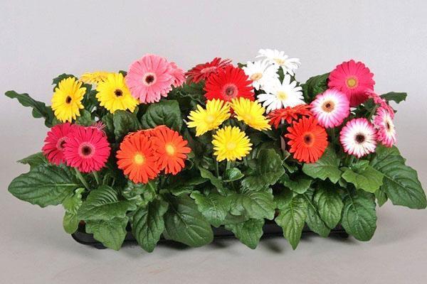 цветут комнатные герберы