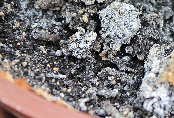плесень на поверхности грунта
