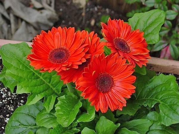 цветет герберу на клумбе