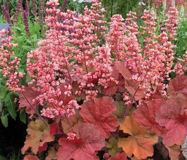 кремовые цветы гейхеры