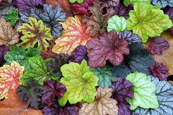 листья гейхеры разных сортов