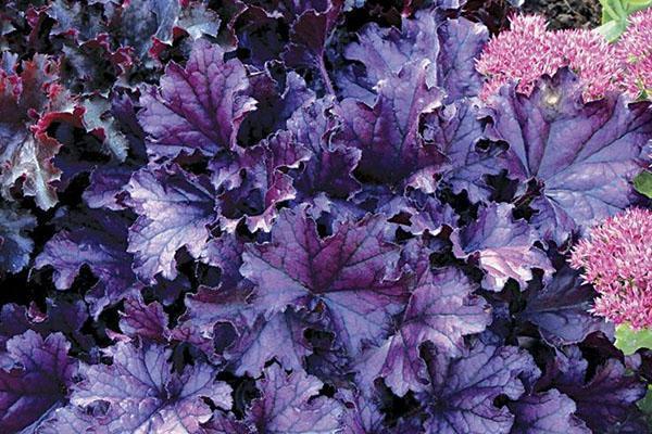 гейхера Palace Purple