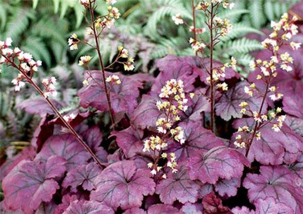 цветет гейхера Palace Purple