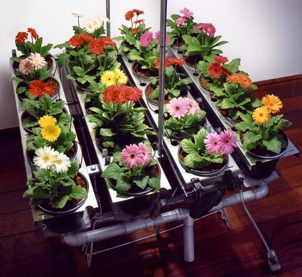 цветут герберы