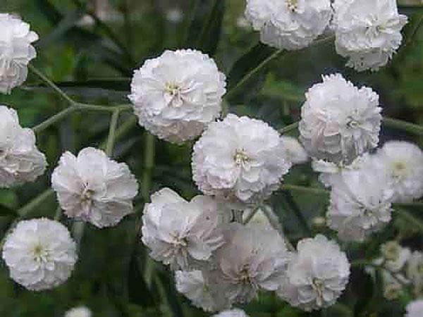 гипсофила рози веил
