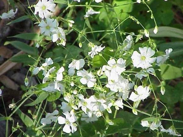 цветет гипсофила изящная