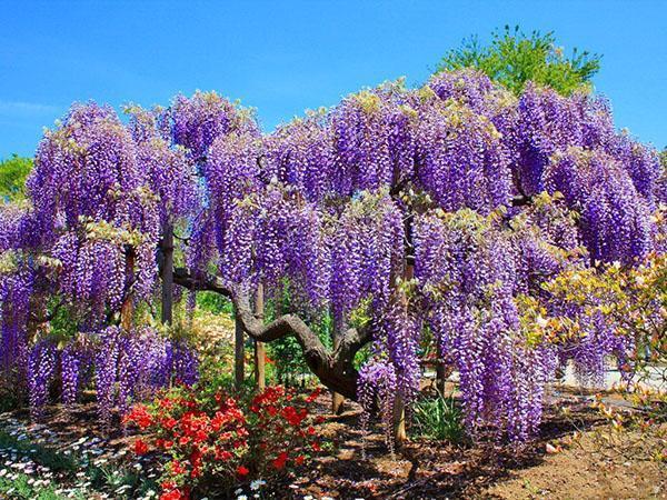 чудесная глициния в саду