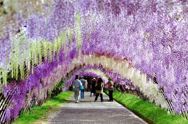 роскошные сады глицинии