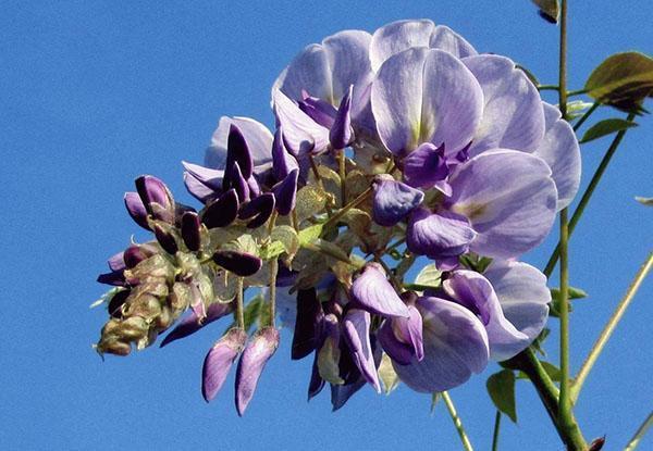 гроздь соцветий глицинии