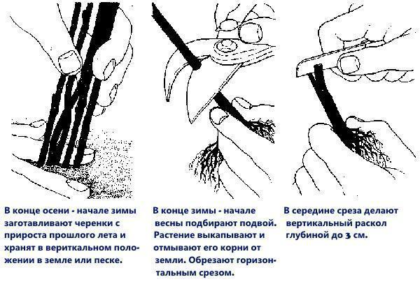 размножение корневой прививкой