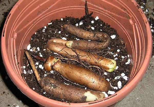 размножение глориозы клубнями