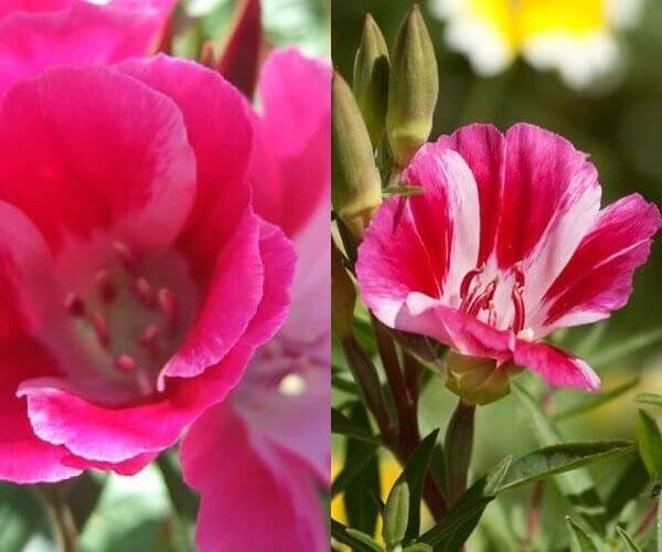 шикарное цветение годеции из семян