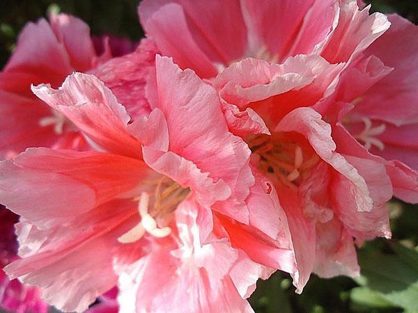 красивые цветы годеции
