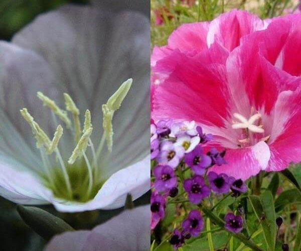крупные цветы годеции