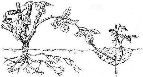 голубика обыкновенная фото