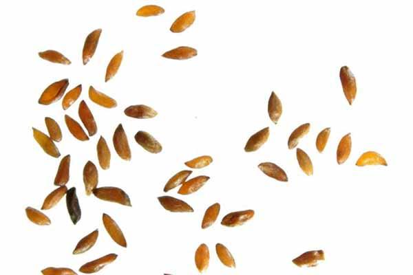 стратификация семян горечавки