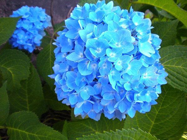голубые цветы гортензии