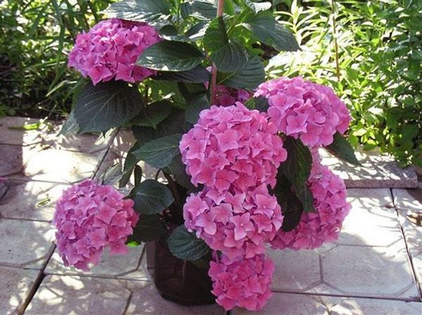 пышные крупные цветы
