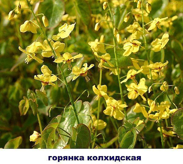 горянка колхидская