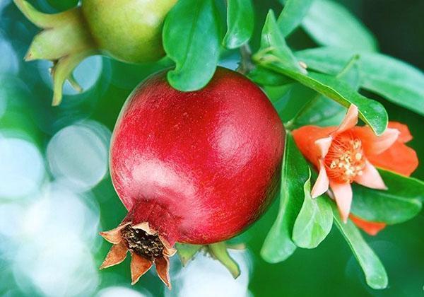 ветка гранатового дерева с плодами