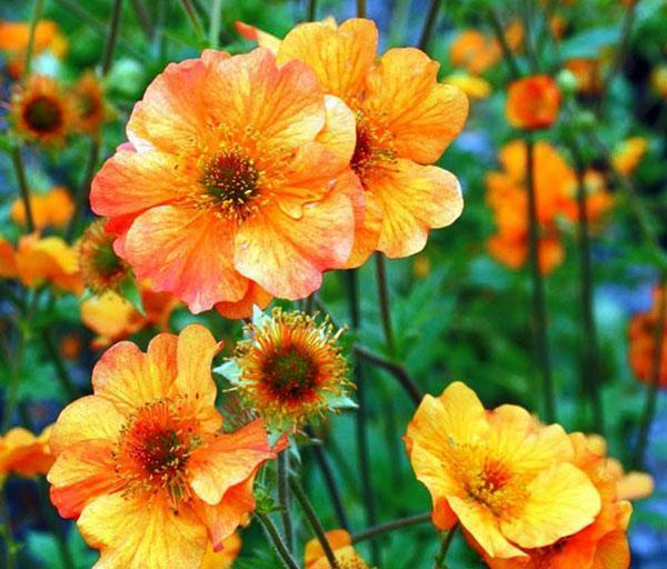 цветет гравилат