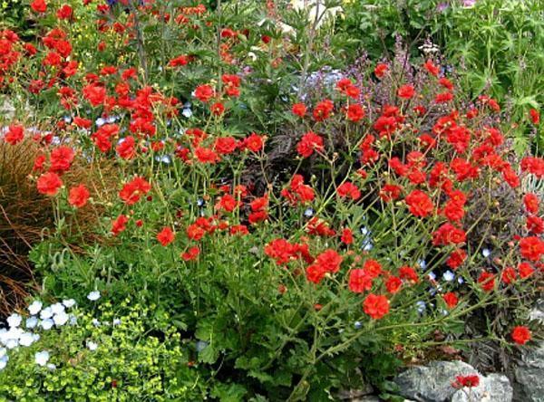 яркое цветение чилийского гравилата