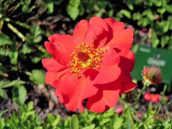 цветок длительного цветения