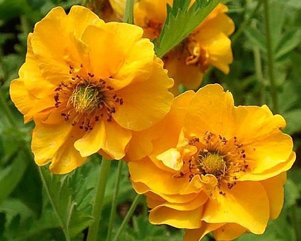махровые соцветия гравилата гибридного