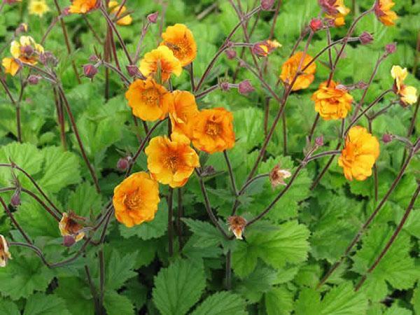 цветет гравилат гибридный