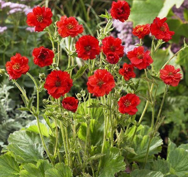 махровые красные цветы гравилата