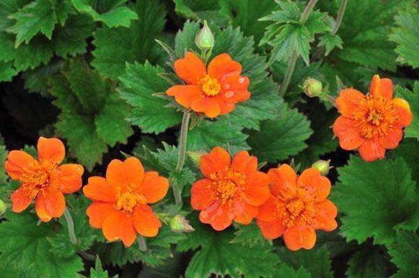 цветет гравилат в саду