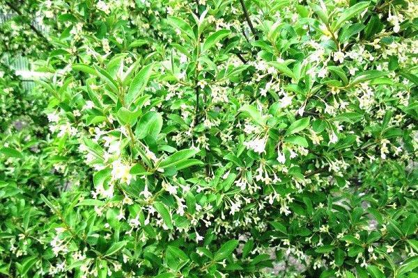 цветение кустарника гуми