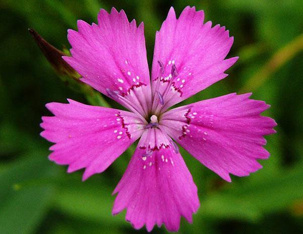 нежное цветение травянки