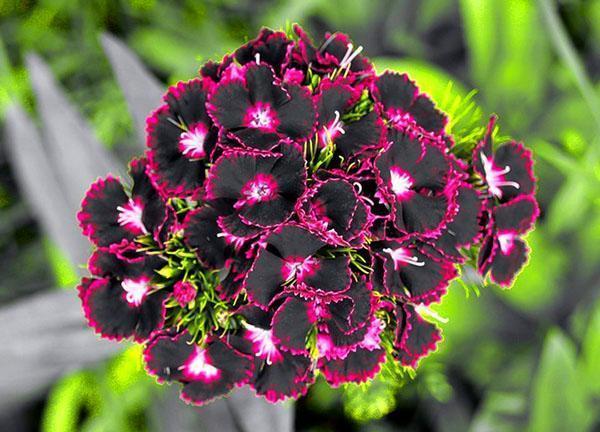оригинальное цветение гвоздики турецкой