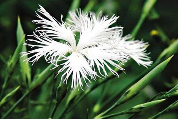 рассеченные лепестки цветка гвоздики