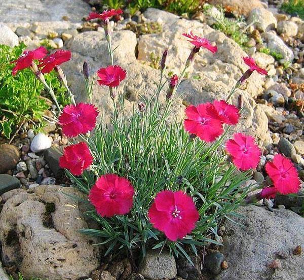 метельчатый щитковидные соцветия