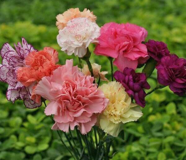 гвоздика садовая разного окраса