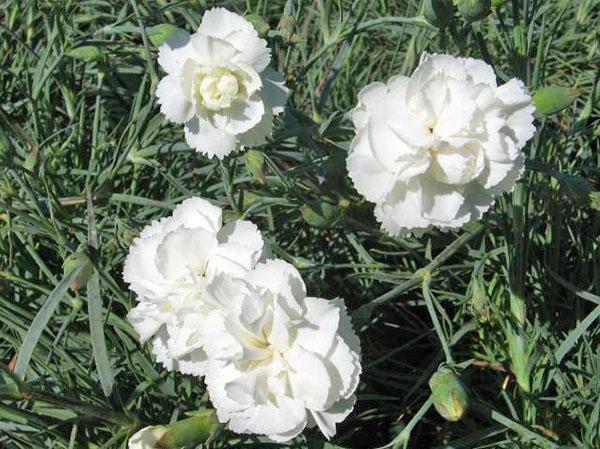 белая садовая гвоздика