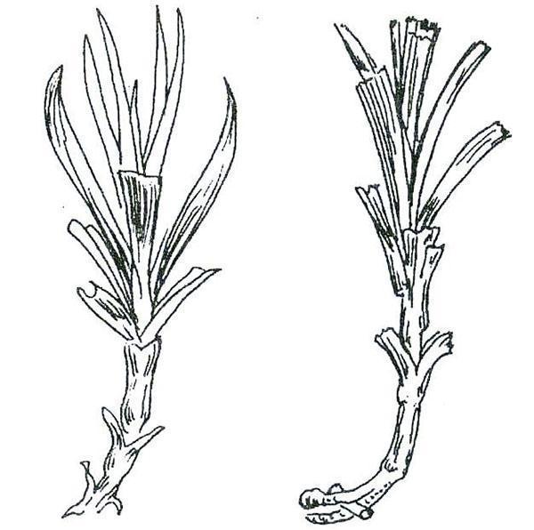 черенкование гвоздики
