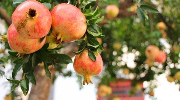 созревают плоды граната