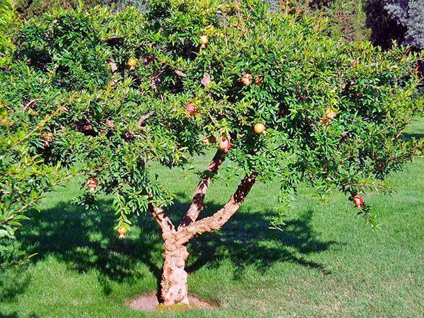 старое дерево граната