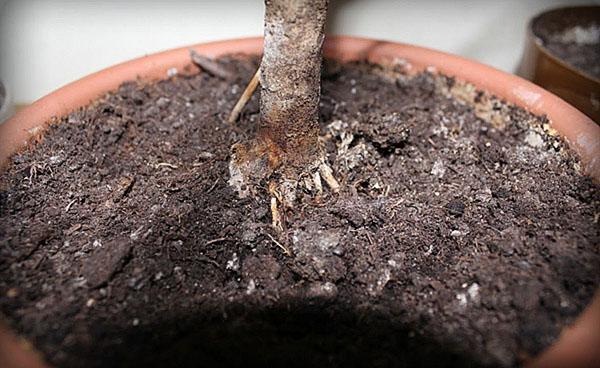 подгнивание корневой системы