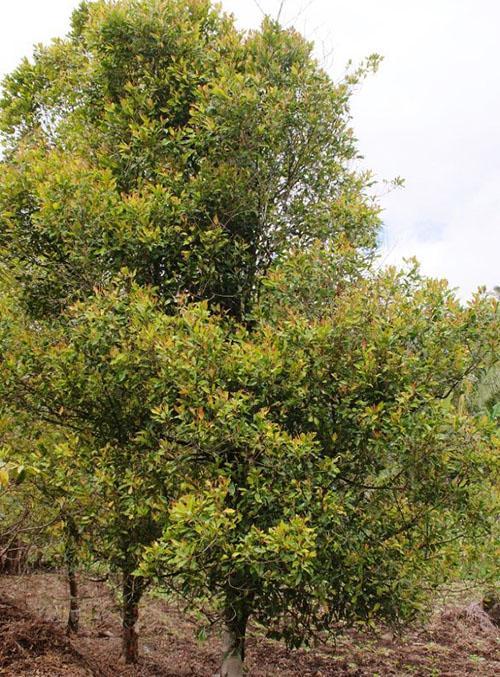 гвоздичное дерево