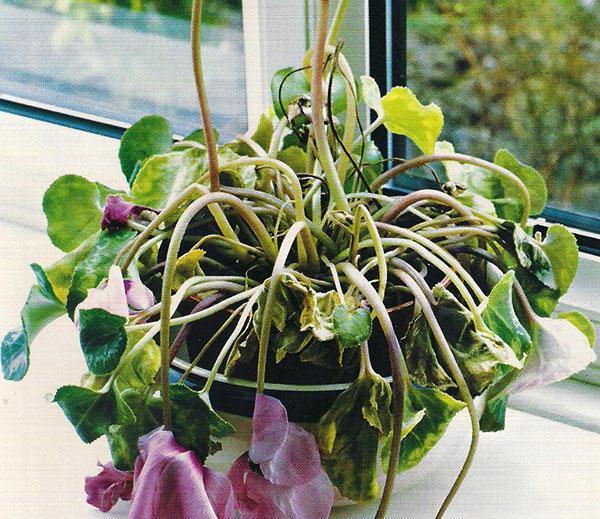 растение погибает от мошек